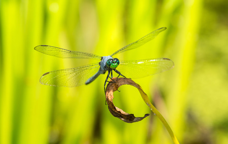 pondhawk: Male Eastern Pondhawk dragonfly Erythemis simplicicollis resting on a leaf in Maryland during the Summer