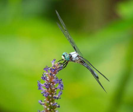 pruinose: Male Great Blue Skimmer dragonfly Libellula vibrans perching on a wildflower in Maryland during the Summer