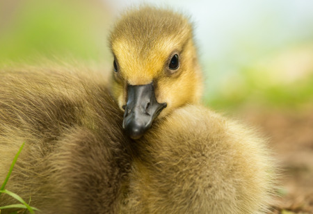 Natural image of a Canada Goose gosling Branta canadensis resting in grassland in Maryland during the Spring photo