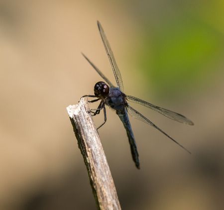 pruinose: Slaty Skimmer dragonfly Libellula incesta sitting on a twig in Maryland during the Summer