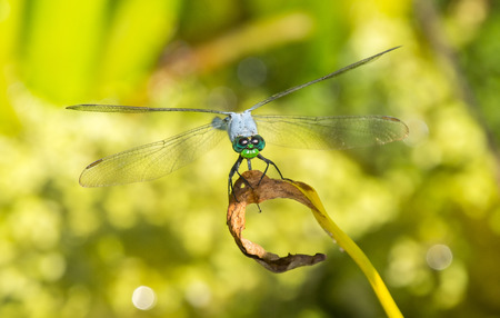 pondhawk: Male Eastern Pondhawk dragonfly Erythemis simplicicollis resting on a twig in Maryland during the Summer
