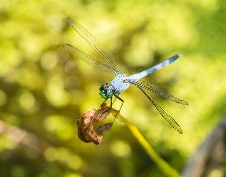 pruinescence: Male Eastern Pondhawk dragonfly Erythemis simplicicollis resting on a twig in Maryland during the Summer