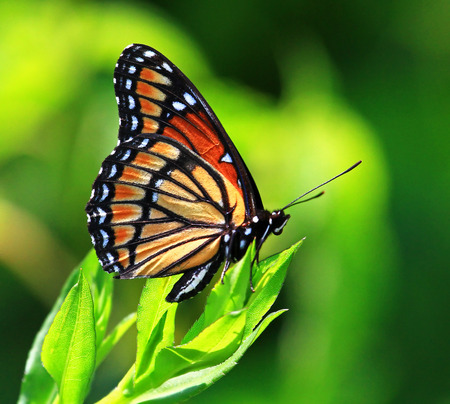 Viceroy Limenitis archippus butterfly resting on wildflowers and vegetation in Maryland during the Summer photo