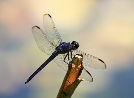 pruinescence: Slaty Skimmer dragonfly Libellula incesta sitting on a twig in Maryland during the Summer