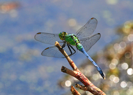erythemis: Male Eastern Pondhawk dragonfly Erythemis simplicicollis resting on a twig in Maryland during the Summer