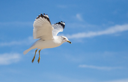 Ring-billed Gull Larus delawarensis hovering in flight on Assateague Island during the Winter Banque d'images