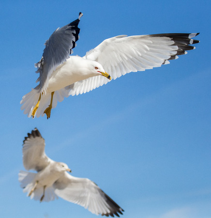 billed: Ring-billed Gulls Larus delawarensis hovering in flight on Assateague Island during the Winter Stock Photo