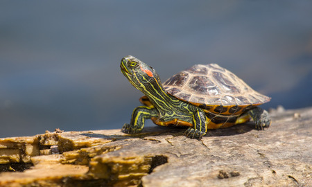 Young Red-eared Slider pond turtle Trachemys scripta elegans basking on a log in Maryland during the Spring photo