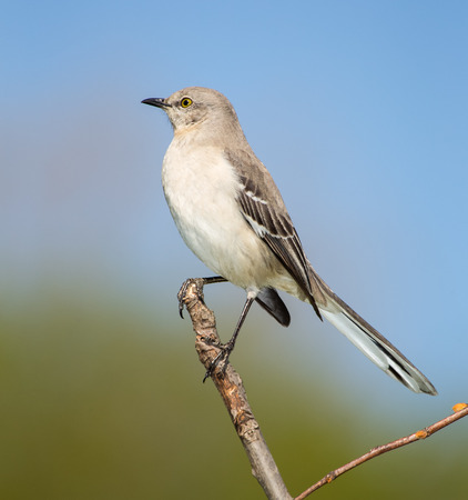 Northern Mockingbird Mimus polyglottos perching on a twig in Maryland during the Spring