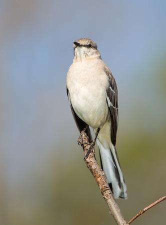 ruiseñor: Polyglottos del Mimus Mockingbird norteño posada en una rama en Maryland durante la primavera Foto de archivo
