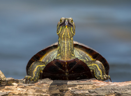 Red-eared Slider pond turtle Trachemys scripta elegans basking on a log in Maryland during the Spring photo