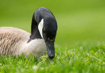 Detailed portrait of a Canada Goose Branta canadensis resting in grassland in Maryland during the Spring photo