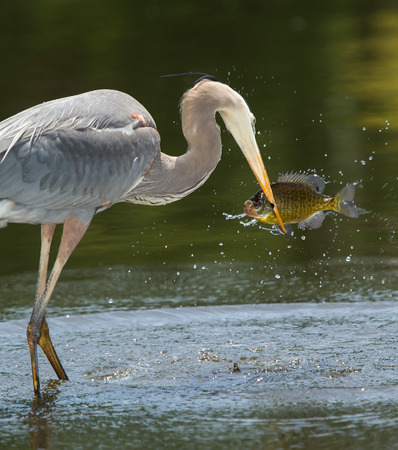 Great Blue Heron Ardea herodias holding a fish it has caught in Maryland during the Spring Stock Photo