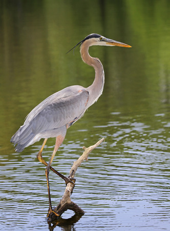 herodias: Great Blue Heron Ardea herodias perching on a branch in a lake in Maryland during the Spring Stock Photo