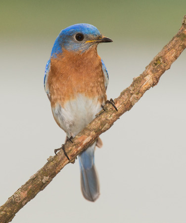 aves: Eastern Bluebird Sialia sialis perching on a branch in Maryland during the Spring Stock Photo