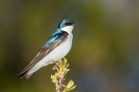 bicolor: Tree Swallow Tachycineta bicolor bird perching on a twig in Maryland during the Spring