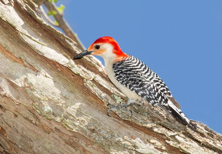 Red-bellied Woodpecker Melanerpes carolinus perching on a tree in Maryland during the Spring photo