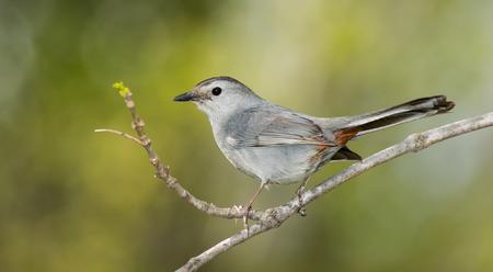 gray catbird: Gray Catbird (Dumetella carolinensis) perching on a twig