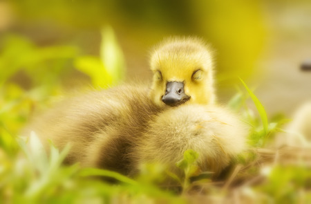 Canada Goose gosling (Branta canadensis) resting in grassland in Maryland during the Spring photo