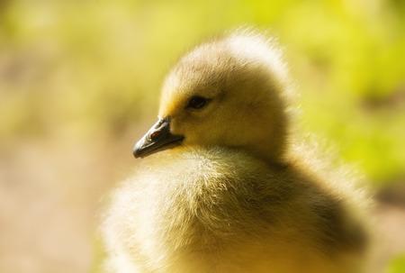 gosling: Canada Goose gosling (Branta canadensis) closeup