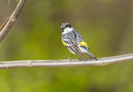 Yellow-rumped Warbler (Setophaga coronata) perching on a branch photo