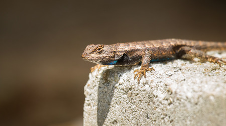undulatus: Eastern Fence Lizard  Sceloporus undulatus  basking in the sun during the Spring