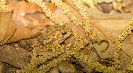 tiny frog: Very young Fowlers Toad  Anaxyrus fowleri  resting in woodland during the Spring