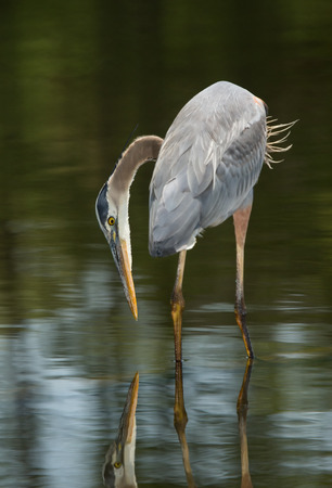 great blue heron: Great Blue Heron  Ardea herodias  hunting in a lake during the Spring Stock Photo