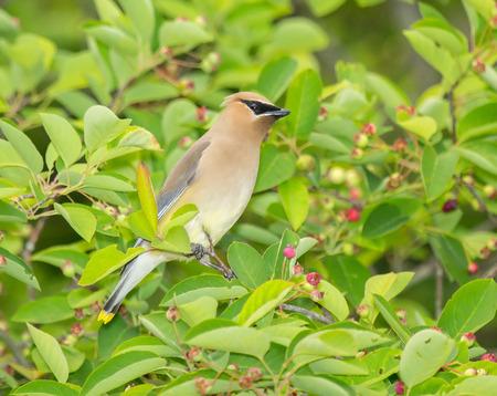 urban wildlife: Cedar Waxwing  Bombycilla cedrorum  bird perching in a tree during the Spring
