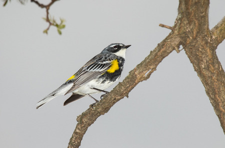 Yellow-rumped Warbler  Setophaga coronata  perching on a branch in woodland during the Spring photo