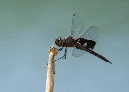 Black Saddlebags dragonfly  Tramea lacerata  resting on a twig during the Spring