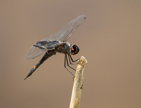 pruinose: Black Saddlebags dragonfly  Tramea lacerata  resting on a twig during the Spring