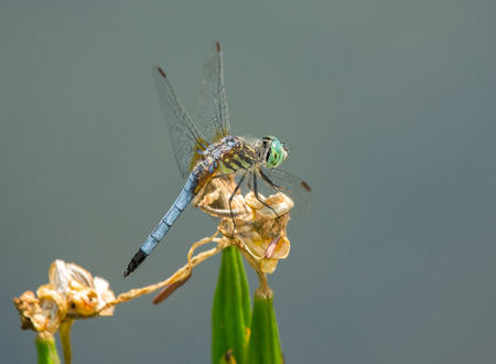 Male Blue Dasher dragonfly Pachydiplax longipennis resting on a wildflower during the Spring Stock Photo - 29086435