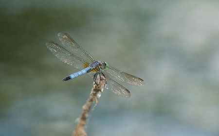 Male Blue Dasher dragonfly Pachydiplax longipennis resting on a twig during the Spring