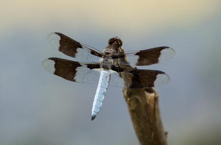 Male Common Whitetail dragonfly Plathemis lydia perching on a twig in Maryland during the Spring photo