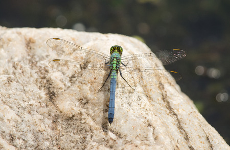 erythemis: Male Eastern Pondhawk dragonfly Erythemis simplicicollis resting on a rock during the Spring