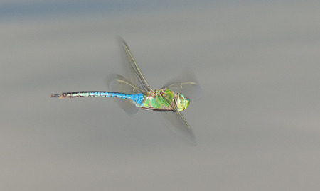pruinescence: Male Green Darner dragonfly Anax junius in flight in Maryland during the Spring Stock Photo