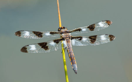 odonatology: Twelve-spotted Skimmer dragonfly Libellula pulchella resting on a grass stem during the Spring