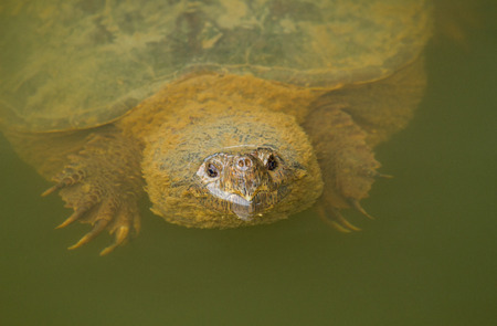 Head of an adult Common Snapping Turtle Chelydra serpentina swimming in a lake in Maryland Imagens - 29142167