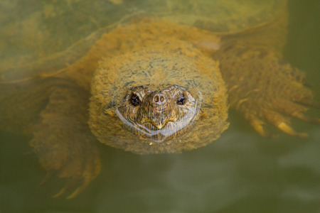 freshwater turtle: Head of an adult Common Snapping Turtle Chelydra serpentina swimming in a lake in Maryland