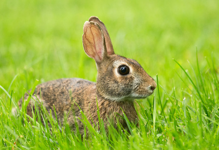lagomorpha: Eastern Cottontail rabbit Sylvilagus floridanus sitting in vegetation in Maryland during the Spring