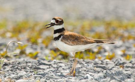 urban wildlife: Killdeer bird Charadrius vociferus standing on gravel during the Spring