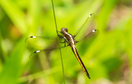 Female Spangled Skimmer Libellula cyanea dragonfly perching on a reed in Maryland during the Spring photo