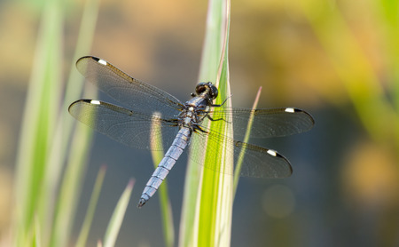 odonatology: Spangled Skimmer Libellula cyanea dragonfly perching on a leaf in Maryland during the Spring Stock Photo