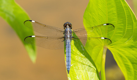 Spangled Skimmer Libellula cyanea dragonfly perching on a leaf in Maryland during the Spring photo