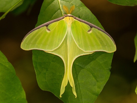 hindwing: Male Luna Moth Actias luna perching on a leaf in Maryland during the Spring Stock Photo