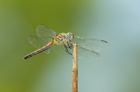 pruinescence: Female Blue Dasher dragonfly Pachydiplax longipennis resting on a twig in Maryland during the Spring