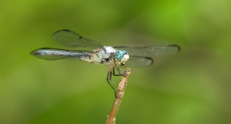 odonatology: Male Great Blue Skimmer dragonfly Libellula vibrans perching on a twig in Maryland during the Spring