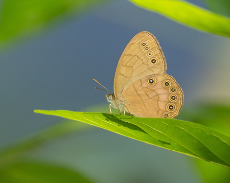 hindwing: Appalachian Brown butterfly Satyrodes appalachia perching on a leaf in Maryland during the Spring Stock Photo