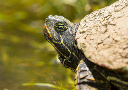 Detailed face of a Red-eared Slider pond turtle Trachemys scripta elegans basking in the sun during the Spring photo